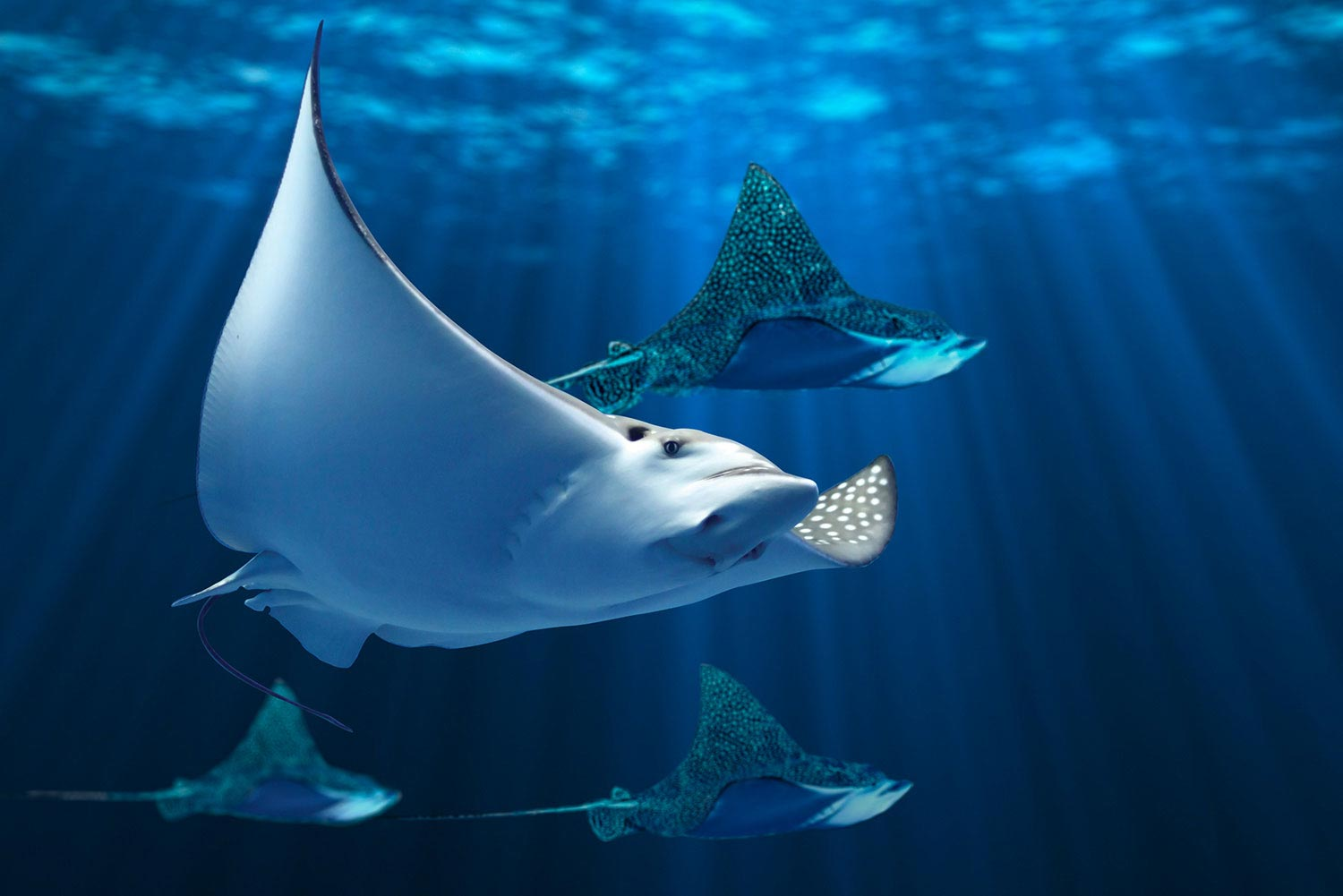 Eagle rays in Aquaria Phuket